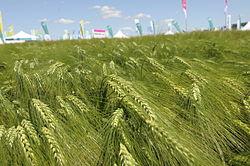 green barley plus kup