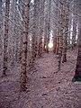 Wintry forest near Bryn Mawr - geograph.org.uk - 81309.jpg