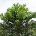 Wollemia nobilis-IMG 5974.jpg