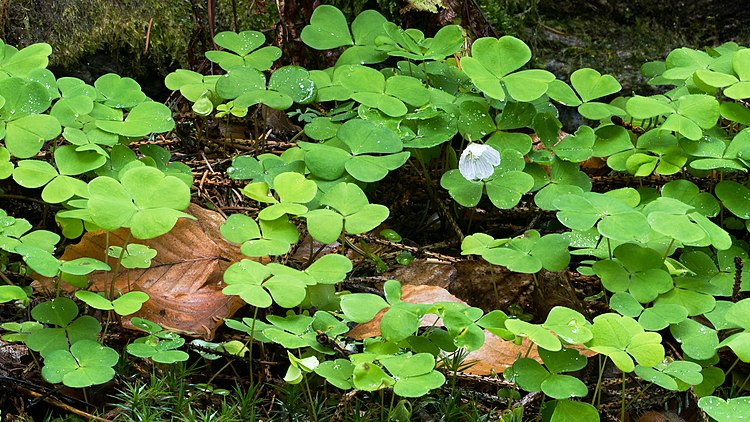 Wood sorrel after rain.jpg