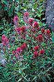 Wyoming paintbrush castilleja linariifolia bright colored flower among rocks.jpg