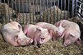 XN Sus domesticus Animal husbandry 912.jpg