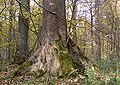 XN buttress root 499.jpg