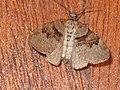 Xanthorhoe designata - Flame carpet - Ларенция капустная (40250694684).jpg