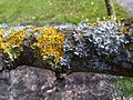Xanthoria parietina - UK 7.jpg