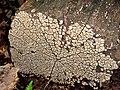 Xylobolus frustulatus (363448878).jpg