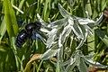 Xylocopa violacea et Ornithogalum narbonense03(js), Crete.jpg