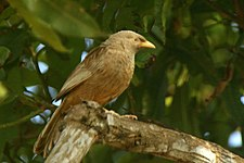 Yellow-billed Babbler.jpg