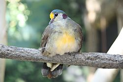 Yellow-breasted Ground Dove 001.jpg