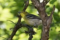 Yellow-throated Vireo National Butterfly Center Mission TX 2018-03-07 13-57-49-2 (39849284585).jpg