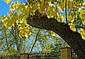 Yellow Leaves, Oak Glen, CA 11-8-14 (15588879809).jpg