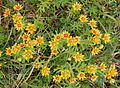 Yellow Mountain Saxifrage.JPG