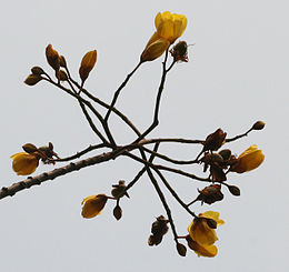 Yellow Silk Cotton (Cochlospermum religiosum) flowers in Kolkata W IMG 4246
