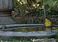 Yellow breasted chat in bird bath (36672413930).jpg