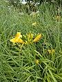 Yellow flowers, Petőfi Square, 2020 Göd.jpg