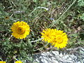 Yellow flowers in Rome 02.JPG