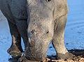 Young Rhino (132520445).jpeg