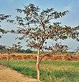 Young Tree I IMG 1655.jpg