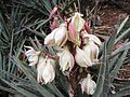Yucca baccata flower - Flickr - brewbooks (1).jpg