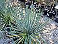 Yucca filamentosa (Adam's needle) 4 (28093010179).jpg