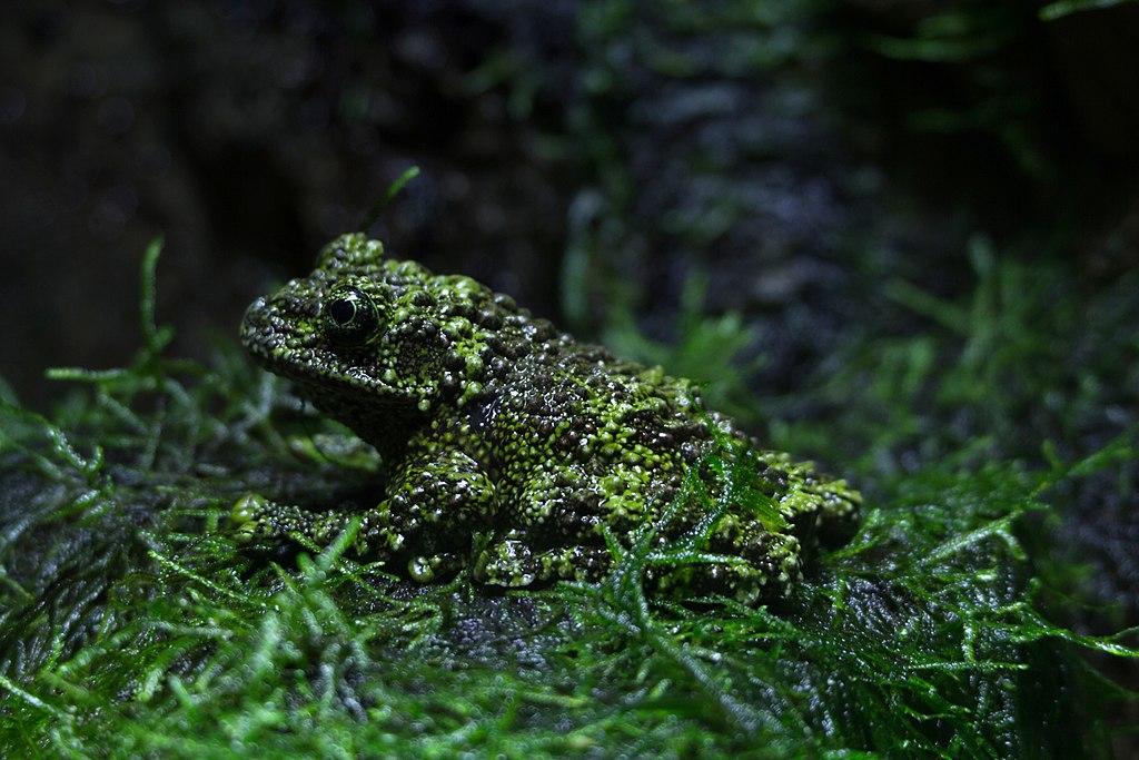 ZSL London - Vietnamese mossy frog (01)
