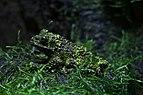 ZSL London - Vietnamese mossy frog (01).jpg