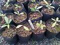 Z Bois d Ebene Noir - Diospyros tesselaria seedlings - Ferney nursery.jpg