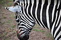 Zebra (29011630360).jpg