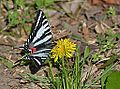 Zebra Swallowtail (13909043441).jpg