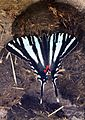 Zebra Swallowtail - Eurytides marcellus, Meadowood Farm SRMA, Mason Neck, Virginia - 26519698541.jpg