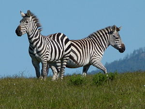 Two proud zebras
