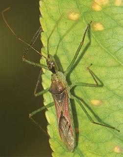 <i>Zelus renardii</i> species of insect