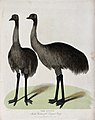Zoological Society of London; two emus. Coloured etching by Wellcome V0023128.jpg