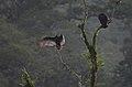 Zopilote Aura, Turkey Vulture, Cathartes aura (11916138504).jpg