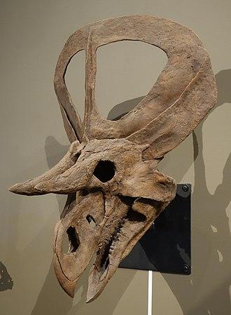 Zuniceratops - Reconstructed skull