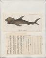 Zygaena blochii - 1700-1880 - Print - Iconographia Zoologica - Special Collections University of Amsterdam - UBA01 IZ14100051.tif