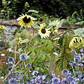 'Helianthus annuus' Sunflower in Walled Garden of Goodnestone Park Kent England.jpg