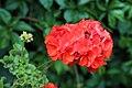 'Hortorum' pelargonium Gibberd Garden Essex England.jpg
