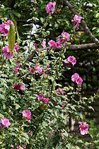 'Malva eriocalyx' Lavatera arborea tree mallow cultivar Henham Essex England.jpg