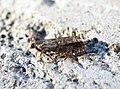 (1145) Epinotia nanana - Flickr - Bennyboymothman.jpg