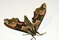 (1979) Lime Hawk-moth (Mimas tiliae) (3609888697).jpg