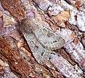 (2185) Lead-coloured Drab (Orthosia populeti) (33332258191).jpg