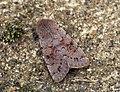 (2185) Lead-coloured Drab (Orthosia populeti) (6977810351).jpg