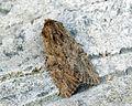 (2333) Large Nutmeg (Apamea anceps) (7285059268).jpg