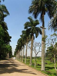<i>Roystonea borinquena</i> Species of palm