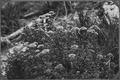 (Spiraea Densiflora) - NARA - 299025.tif