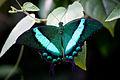 * Papilio palinurus.jpg