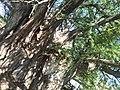Árbol milenario de Arroyo Seco (Querétaro).jpg