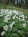 Анемо́на дібро́вна (Anemone nemorosa) у ботанічному саду ЖНАЕУ.jpg