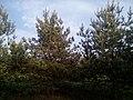 Апостоловский лес сосны.jpg